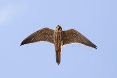 Close-up van volwassen Europees-Aziatische subbuteo die van Falco van de Hobbyvalk vliegen, Royalty-vrije Stock Afbeeldingen