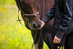 Close-up van vrouw die haar Arabisch paard met snacks op het gebied voeden stock fotografie
