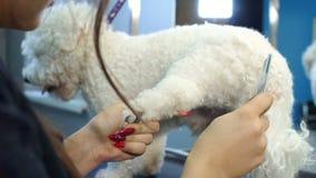 Close-up van vrouwelijke dierenarts die een witte pluizige hond in een veterinaire kliniek kammen stock video