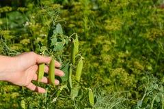 Close-up van vrouwelijke handen die groene erwten oogsten die in de tuin groeien Stock Foto's