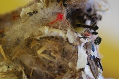Close-up van vrouwelijke kolibrie in nest stock fotografie
