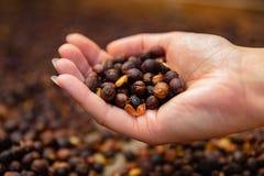Close-up van vrouwelijke Organische Ruwe de Koffiebonen van de Werknemersholding stock foto's