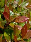 Close-up van waterdalingen op rode en groene bladeren Royalty-vrije Stock Afbeelding