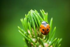 Close-up van weinig onzelieveheersbeestje Royalty-vrije Stock Foto's