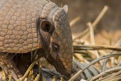 Close-up van Wild zes-Gestreept Gordeldierhoofd Royalty-vrije Stock Foto's