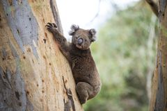 Close-up van Wilde Koala in de eucalyptusbossen van Kangoeroeeiland, Zuid-Australië royalty-vrije stock afbeelding