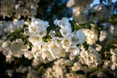 Close-up van Wit Cherry Blossoms Bloom in de Lente royalty-vrije stock fotografie