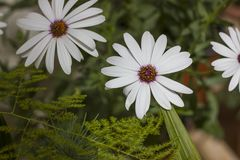 Close-up van Wit Kaapmadeliefje met purper centrum Stock Foto