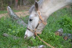 Close-up van Wit Paard die Groen Gras in het Platteland eten Stock Foto