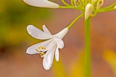 Close-up van witte Agapanthus-bloem stock fotografie