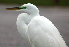 Close-up van witte aigrette Royalty-vrije Stock Foto