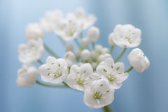 Close-up van witte alliumbloem Stock Foto's