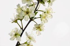 Close-up van witte bloem Stock Foto's