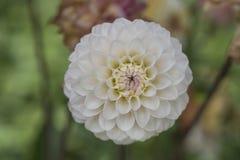 Close-up van witte Dahliabloei Stock Fotografie