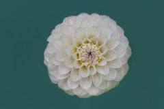 Close-up van witte Dahliabloei Stock Foto