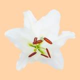Close-up van witte geïsoleerde leliebloem. Stock Afbeelding