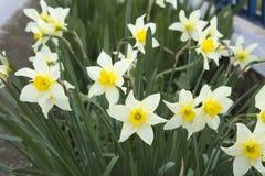 Close-up van witte gele narcissen Royalty-vrije Stock Foto