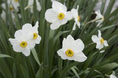 Close-up van witte gele narcissen Stock Afbeelding