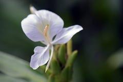 Close-up van witte gemberlelie Royalty-vrije Stock Foto