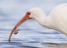 Close-up van Witte Ibis die een krab eten - Fort DE Soto Park, Florida Royalty-vrije Stock Afbeeldingen
