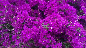 Close-up van witte jasmijn in een volledige bloei van de lente stock videobeelden