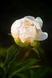 Close-up van Witte Pioen Royalty-vrije Stock Afbeeldingen