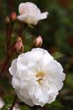 Close-up van Witte Pioen Stock Afbeeldingen