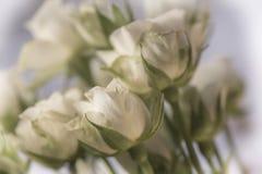 Close-up van witte rozen Royalty-vrije Stock Fotografie