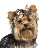 Close-up van Yorkshire Terrier die een boog dragen Stock Foto