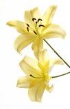Close-up van Zachte Roze Lelie op Witte Achtergrond Royalty-vrije Stock Afbeeldingen