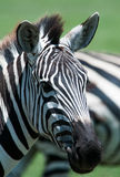 Close-up van Zebra, Tanzania, Afrika Stock Foto's