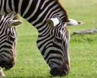 Close-up van zebras die het gras eten Stock Foto