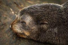 Close-up van zeehondejong van het slaap het Antarctische bont Stock Afbeeldingen