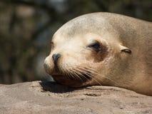 Close-up van zeeleeuw het hoofd liggen in de zon op een steen die de camera onderzoeken royalty-vrije stock foto
