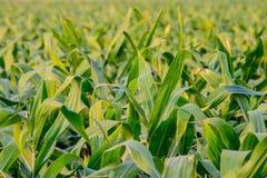Close-up van zoete maïsbladeren op gebied royalty-vrije stock foto