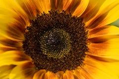Close-up van zonbloem Royalty-vrije Stock Afbeelding