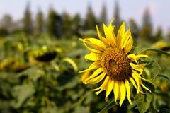 Close-up van zonbloem en blauwe hemel - beeld stock afbeeldingen