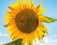 Close-up van zonbloem op het gebied Royalty-vrije Stock Afbeelding