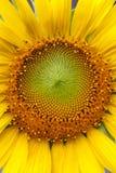 Close-up van zonnebloem Stock Afbeelding
