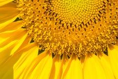Close-up van zonnebloem Royalty-vrije Stock Afbeeldingen