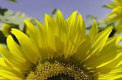 Close-up van zonnebloem Royalty-vrije Stock Foto's