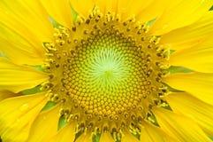 Close-up van zonnebloem Royalty-vrije Stock Afbeelding