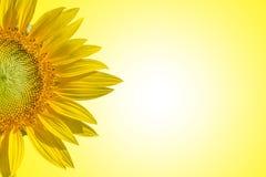 Close-up van zonnebloem op de gele tonen van de achtergrondstijlpastelkleur achtergrond van ruimte voor tekstinput Stock Afbeeldingen