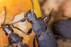 Close-up van Zophobas-morio of superworm Royalty-vrije Stock Afbeeldingen