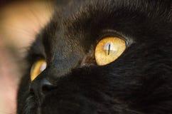 Close-up van zwarte katten` s gele ogen en neus Stock Foto's