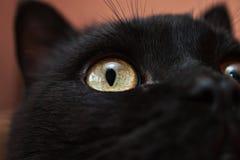 Close-up van zwarte katten` s gele ogen en neus Stock Afbeelding
