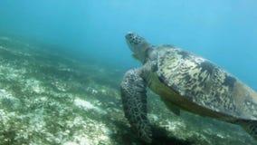 Close-up van zwemmende zeeschildpad stock video