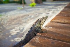 Close-up of varan on sand in exotic country Royalty Free Stock Photography