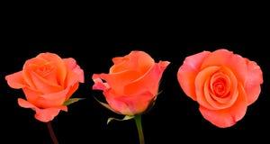 Close-up variation image of orange rose isolated on black. Background stock photo
