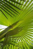 Close up of a variety of palm leaf Royalty Free Stock Image